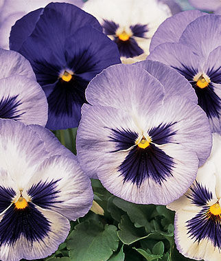 Pansy, Blue Frost, , large